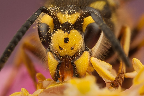 Hungry Queen Wasp by abovelifesize