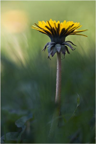 Dandelion by BeiK