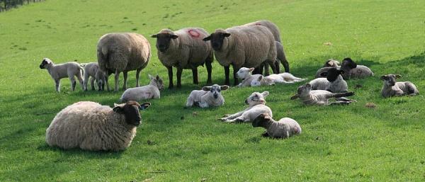 Sheep & Lambs by Glostopcat