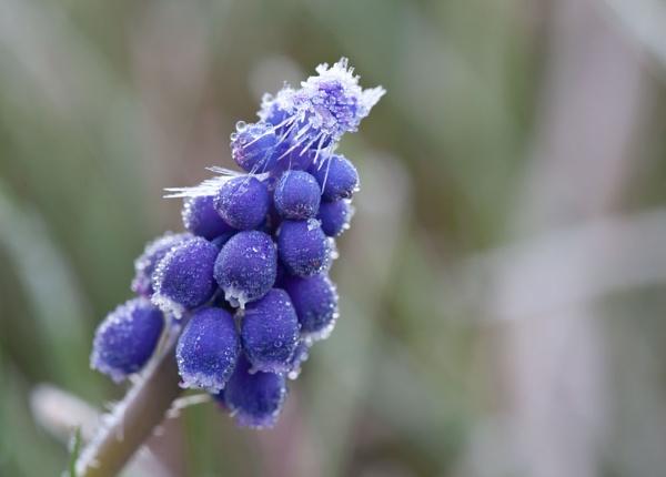 Frosty Bluebell by joss