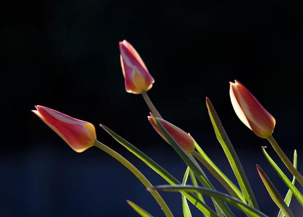Backlit Tulips by joss