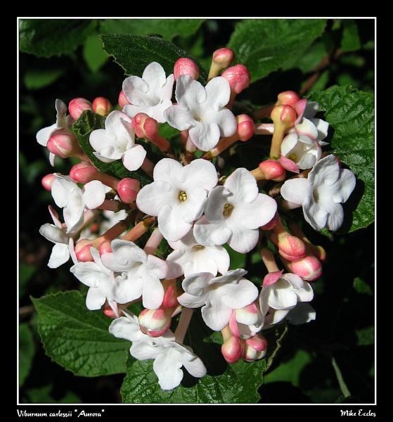 "Viburnum carlessii \""Aurora\"" by oldgreyheron"