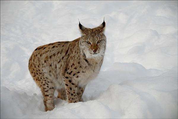 Lynx  Norway by Bertadd