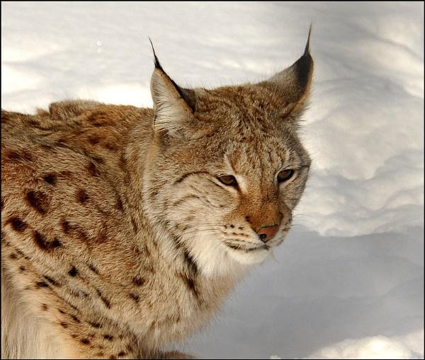 Wild  Lynx Norway by Bertadd