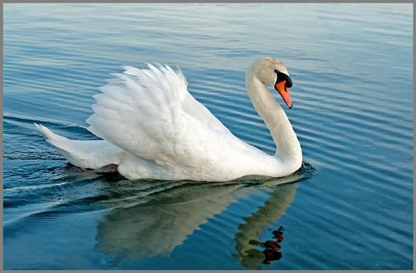 Swanning Around In Poole Park