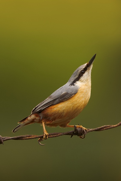 Nuthatch on oId barbed wire by nigelpye