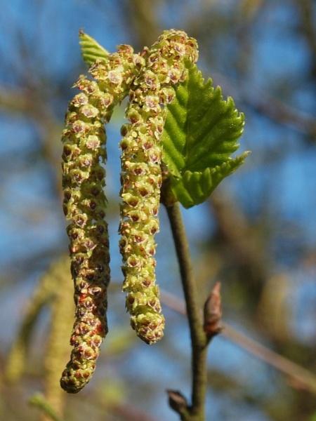 Spring Birch by BarrySaich
