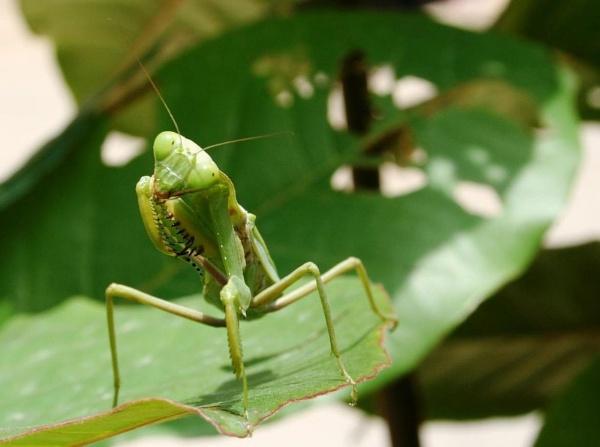 Grasshopper by pingreek