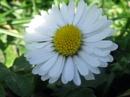 Daisy by kforeman