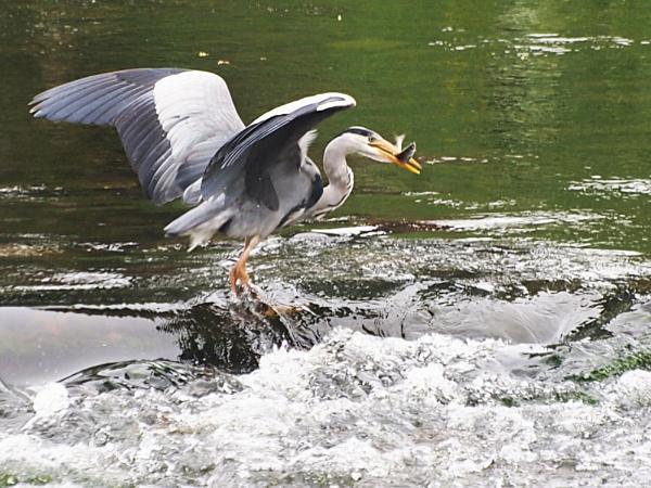 Heron by kevtrucker