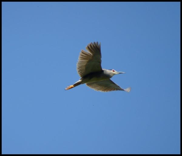 night heron by alianar