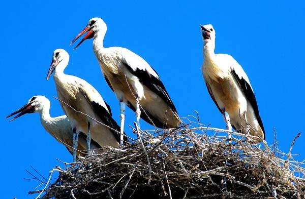 "\""The Whooper Cranes\"" by diamondgeaser"