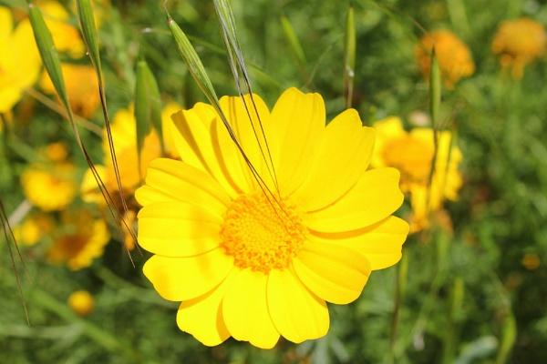 Yellow Flower by Lizzie_x