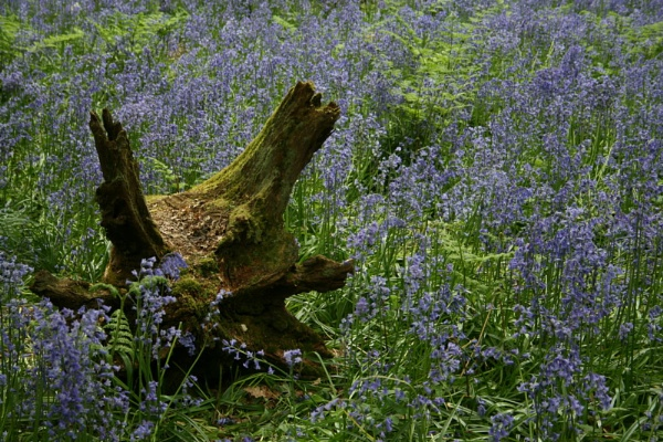 Bluebell Log by suzebat