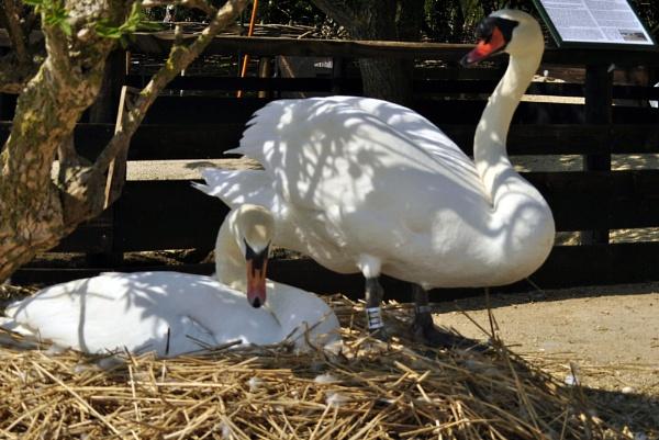 Nesting Swan by suekib