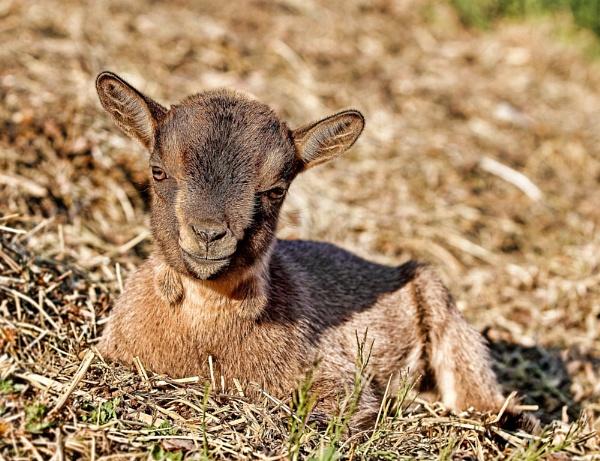 Goat baby by dentex