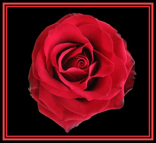 St Jordi Rose by Elizabethh
