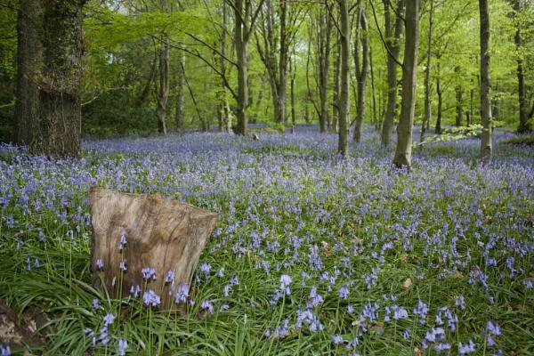 Bluebell Wood by PaulJenkins