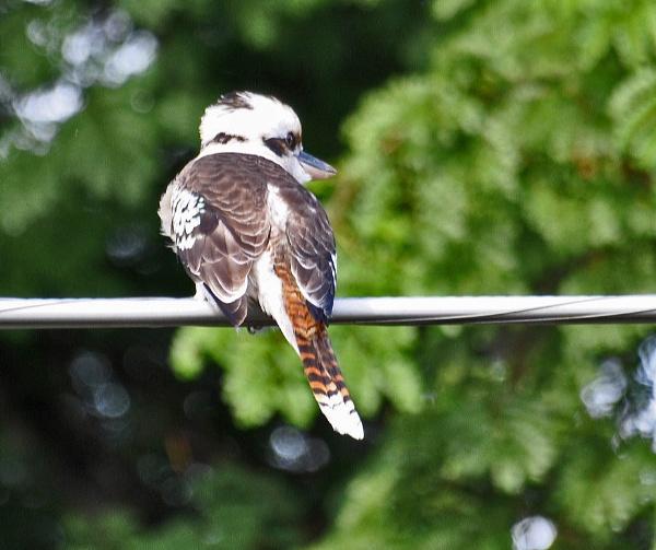 Kookaburra by Dilys