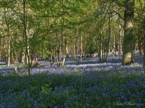 Sweetwoods Bluebells by DavidBird