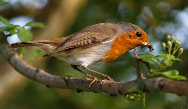Beak Full Of Bugs by JackC