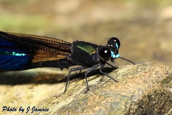 Dragon fly by JJamree