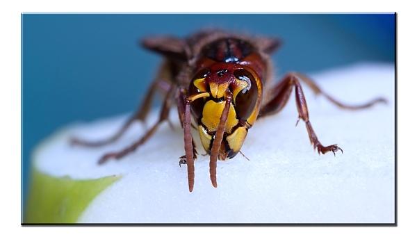 European hornet Vespa crabro by mohikan22