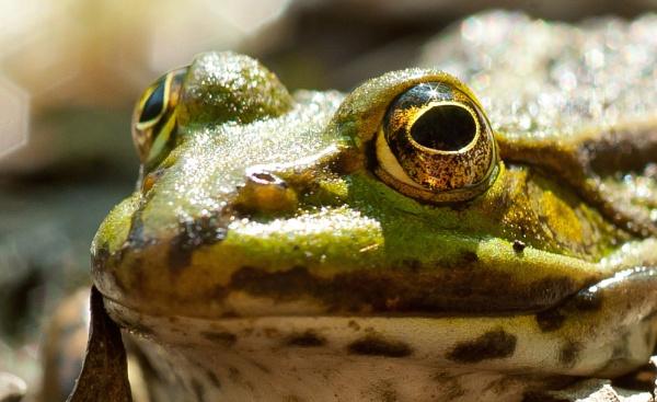 Frogger by burd