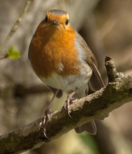 Robin Close-Up by chensuriashi