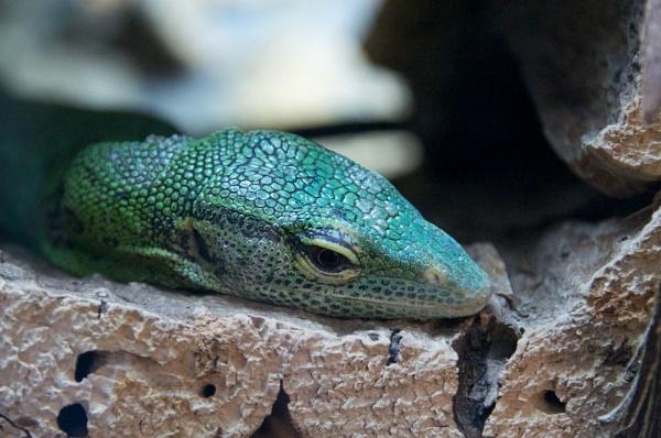 Lizard 1 by dlegros