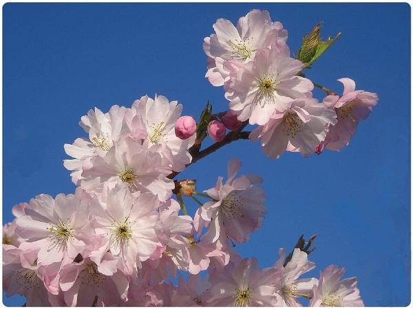 Japanese Cherry Blossom by Glostopcat