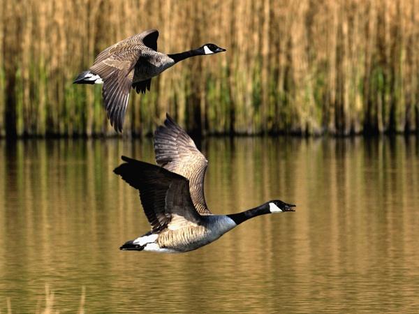 Flying Goose by Kruger01