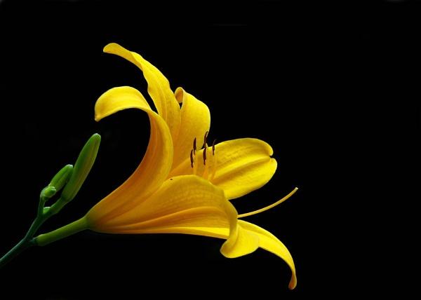 Yellow Lilly by samarmishra