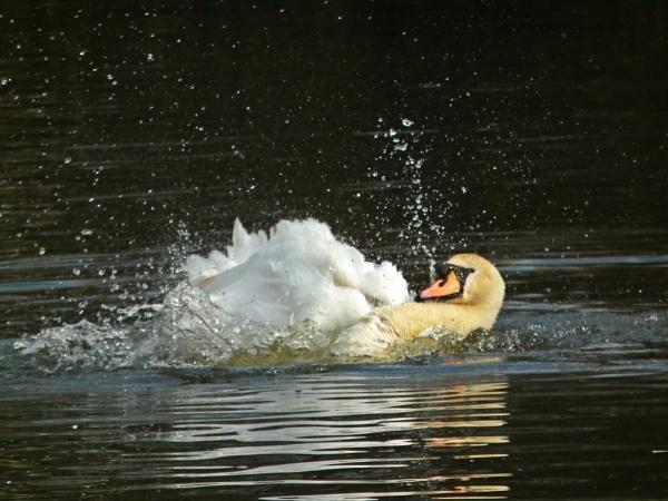 Everyone like a swan by simon73