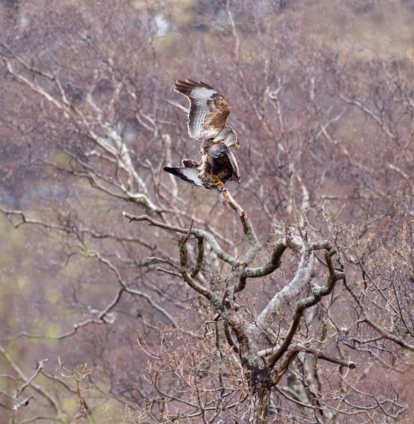 Mating Buzzards by paulrosser
