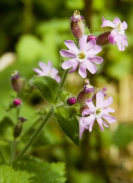 Red campion by 41sPH0T0S