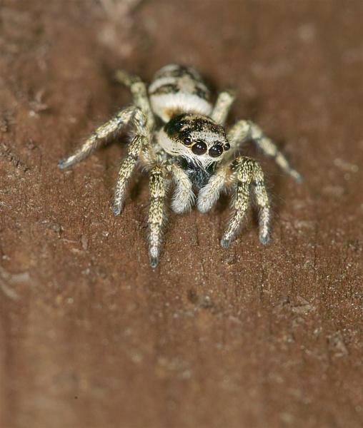 Jumping Spider by Gemma9