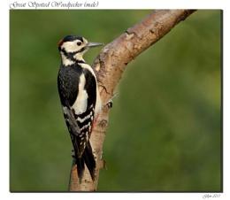Great Spotted Woodpecker (male)