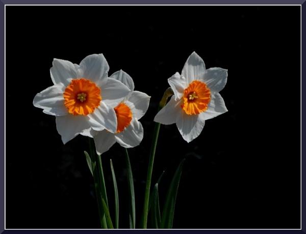 Tree Narcissos by izida