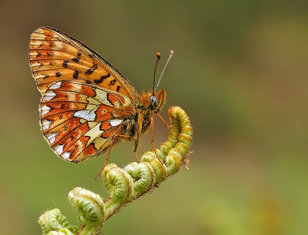 Pearl Bordered Fritillary by NigelKiteley
