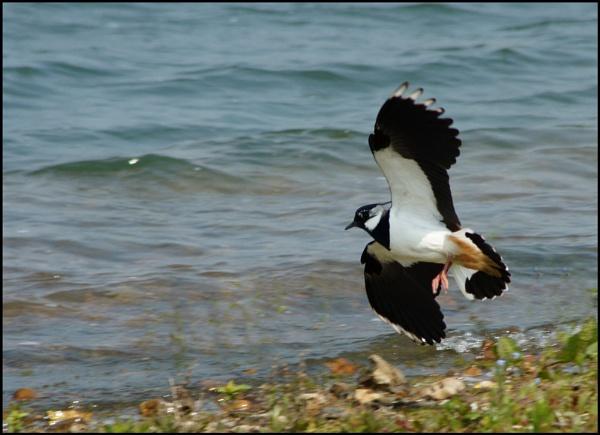 landing lapwing by alianar