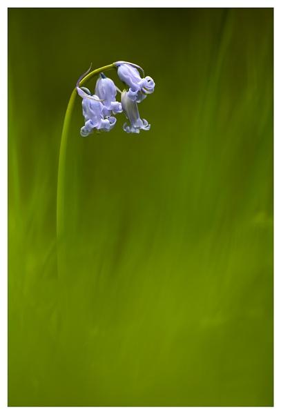 Bluebell by baker58