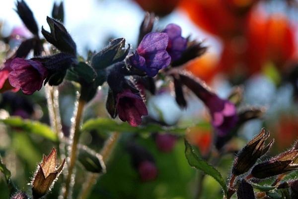 Violet by jessikerr