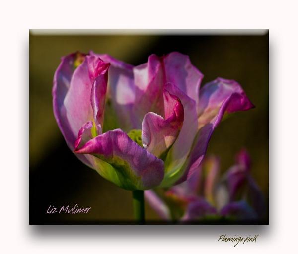 Flamingo pink by LizMutimer