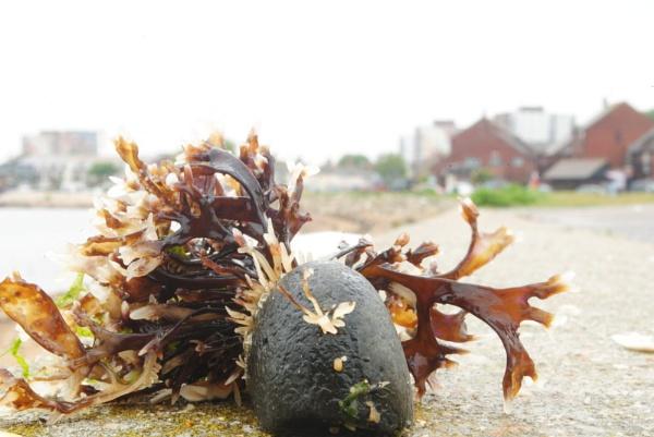 Natural growth seaweed and stone by suekib