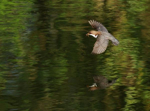 Dipper in flight by Vpics