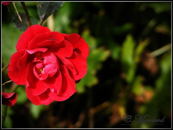 Rose by THE_HIGHLANDER96