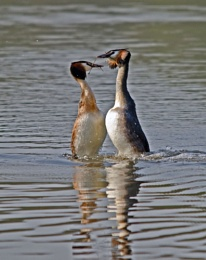 True Love- Great Crested Grebe style