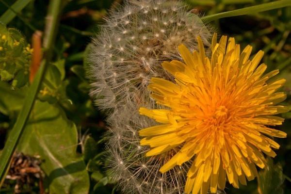 Dandelions by shuto