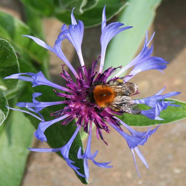 Bee on CornFlower by nbatchford